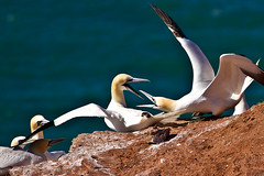 A fight ... for the birds?! (gibsi (driempixel photos)) Tags: bird birds germany deutschland adorn vgel nordsee isle vogel plumes helgoland northerngannet basstlpel