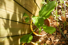 Hosta 'Irish Luck' (moccasinlanding) Tags: hosta eyes1 lotg irishluck