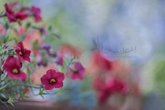 colourful delight (Lightspectral) Tags: flowers red painterly flower spring bokeh petunia 50mmf14 millionbells wwwpoetryoflightnet copyright2013 mariaismanahschulzevorberg koenigswintergermany