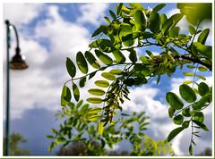 Robinier-Vaison-1 (Charlottess) Tags: arbre acacia feuille vaucluse