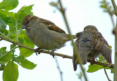 DSC_0006 (PeaTJay) Tags: robin dunnock sparrow gardenbirds carlsbirdclub