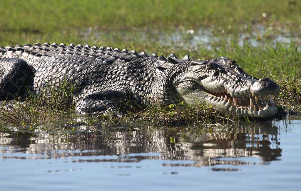 Saltwater Crocodile by andy_tyler, on Flickr