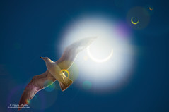 On Solar Wings - 2012 Eclipse (Darvin Atkeson) Tags: sanfrancisco california sun moon sol solar eclipse seagull gull filter wrapper poptart partial solareclipse eclipsed darvin annular atkeson darv liquidmoonlightcom lynneal