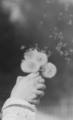 Wishing and hoping (WaltDaisy) Tags: white black hope spring hands soft mood minolta wishing xe5 blowballs