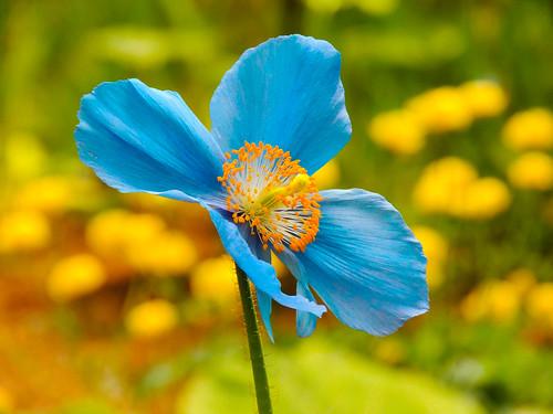 035 Blue Poppy (1bluecanoe) flower floral botanical elegant federalway bluepoppy 1bluecanoe rhodygardens