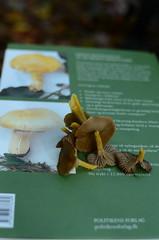 Gribskov, Denmark (Jacob Damgaard) Tags: mushroom denmark autum hunting danish nordic scandinavia svamp funnel collecting hunt chanterelles skov kantareller svampe efterår gribskov svampetur tragt tragtkantareller