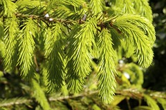Uncurling more (rosberond) Tags: green leaves soft christmastree fir needles canonefs1785mmf456isusm