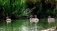 Domaine des oiseaux (Mazères/Ariège) (PierreG_09) Tags: oiseau anseranser faune ariège greylaggoose anatidés mazères oiecendrée ansériformes domainedesoiseaux