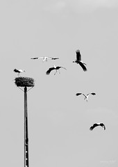 The-Ballet-of-storks... (Paulo Veiga Photo) Tags: sky blackandwhite bw ballet white black bird love portugal nature beauty branco canon river photography eos rebel photo flickr nest air scout aves pb preto cult ritual pure geotag ria maternal storks 2012 aveiro bico instinct murtosa 550d migratrias t2i pauloveiga lens18200mm