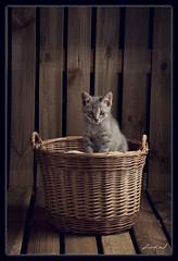 29/52  Hello Kitten (biel.b.c.) Tags: wood diy nikon kitten cardboard weeks softbox 52 d90 strobist