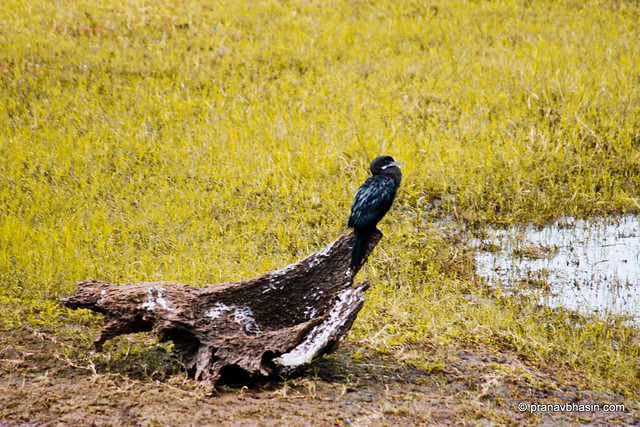 Little Cormorant (Phalacrocorax niger) At Periyar Tiger Reserve, Thekkady