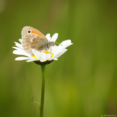 The Right Place (Mr.Pixel) Tags: butterfly explore schmetterling leucanthemum margerite wahnerheide kleinesochsenauge hyponephelelycaon