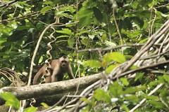 Weeper or wedge-capped capuchin, Rewa in Guyana (inyathi) Tags: southamerica amazon rainforest guyana monkeys primates rewa