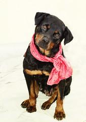 Marta (aromalimon) Tags: dog abandoned female canon spain calendar sweet rottweiler shelter adopted goodgoodgirl aromalimon maygirl wwwscancostablancacom