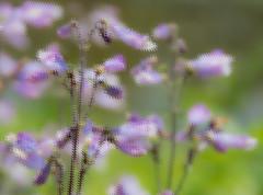 Purple flowers_ (Lo8i) Tags: garden spring md distorted brooksidegardens week45 shootanythingsaturday 7daysofshooting