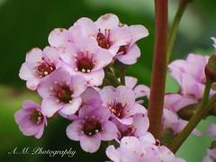 Pink flowers (A.M. photography!) Tags: pink flowers flower nature spring pinkflower bloom flowering floweringbloom