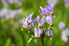 Spring Shooting Star (jeff_a_goldberg) Tags: us illinois spring unitedstates barrington shootingstar crabtreenaturecenter