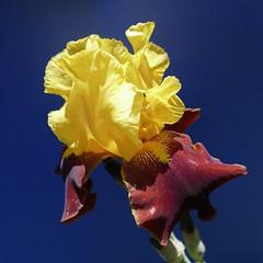 iris (peltier patrick) Tags: flowers iris flower macro fleur fleurs plante garden petals berry jardin petal printemps couleur ptale carr ptales peltierpatrick fleursbicolores