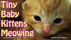 Cute Tiny Baby Kittens Meowing (youtube.com/utahactor) Tags: pets cute animals cat ginger feline adorable kittens gato website tiny kitties gata meow hd videos 4k youtube gingerkittiesfour friendsofzeusandphoebbe