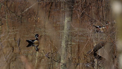 One shot before they ........ (l_dewitt) Tags: ducks woodducks wildlifeimages naturephotos wildlifephotos natureimages northamericanwildlife connecticutwildlife duckimage newenglandwildlife woodduckphotos duckphotos duckimages nationalwildlifemagazinephotogrouppool earthnaturelife waterfoulphotos waterfoulimages nikonwildlifephotos woodduckimages