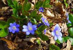Last Violets (rimasjank) Tags: nature spring violet violets lithuania
