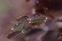 oxalix 5 (Gus@lc) Tags: naturaleza macro minolta olympus gotas fotografia ep1 macrofotografia microcuatrotercios
