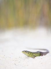 Sand lizard (Mike Mckenzie8) Tags: uk wild male spring sand reptile wildlife lizard british basking lacerta agilis