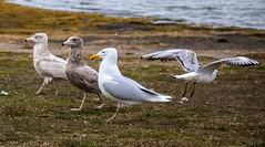 Adult and two young Glaucous gull (Larus hyperboreus) / Hvtmfar (thorrisig) Tags: seagulls bird birds island iceland gulls fugl sland seabird