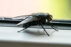 HFDF - Happy Friday Fly (ralfkai41) Tags: macro nature animals tiere fly fenster natur award insects makro insekt fliege hff sonyflickraward