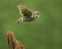 Little Owl Launch (Markp33) Tags: