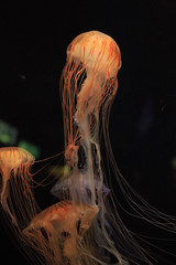 Jellyfish (20EURO) Tags: blue sea orange black nature pool strange beautiful swim dark aquarium colorful jellyfish violet radiation led photograph poison creature drift emission semitransparent deepsea