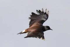 Kiebitz (MyWorldsView) Tags: blue sky bird nature animal photography wings wildlife natur flight himmel lapwing vogel blauer flgel kiebitz