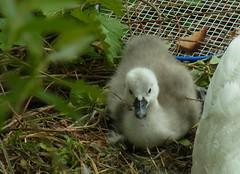 erstes Küken 25 Stunden später (flixx-ak) Tags: bird nature animal fauna germany deutschland natur tier schwäne 2016 flixxakoffenbachammainhessen r0019810
