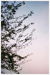Dusk Silhouette (Anita Waters) Tags: tree film silhouette kodak dusk olympus 200 melancholy minimalism om2n colorplus simplicty ananlogue