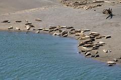 Seals (ivlys) Tags: california usa nature animal mouth river landscape seals fluss landschaft jenner russianriver tier seehunde mndung ivlys highwayno1north