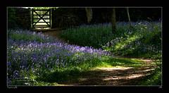 Turn Left (jeremy willcocks) Tags: uk sun colour green bluebells woodland landscape woods gate path devon nationaltrust bucklandabbey jeremywillcocks fujixt1 xf50140 wwwsouthwestscenesmeuk