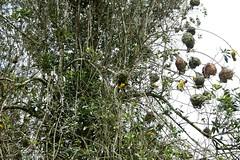 Weaver Birds (My photos live here) Tags: africa park birds canon eos national bigode uganda weaver nests kibale 1000d