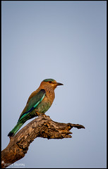 Indian Roller (Wildlife Odyssey) Tags: bird canon state indian birding roller karnataka 100400