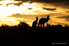 Roo's at sunset (revita7) Tags: sunset kangaroo elements outback southaustralia goldenhour