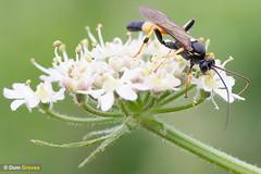Umbellifer buddies III (Dom Greves) Tags: dorset flower grassland hedgerow ichneumon insect invertebrate june summer uk umbellifer wasp wildflower wildlife