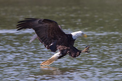 GY8A8028.jpg (BP3811) Tags: bird water river james fishing eagle fierce attack bald raptor swoop claws talons skimming