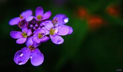 flowers (gshaun12) Tags: flowers flower macro art nature water closeup drops country lilac fantasticnature macrodreams