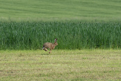 Flying Hare (finor) Tags: rabbit animal hare wildlife sony hase mirrorless a6000 sal70300g ilce6000