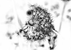 wish (Vanili11) Tags: flowers blackandwhite bw abstract colors dandelion wish invert