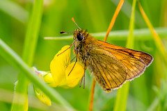Small Skipper (male) (Derek.P.) Tags: insectos macro nature butterfly insect wildlife skipper butterflies insects lepidoptera mariposas naturalworld insekten insectes schmetterlinge borboletas insetti   invertebrate invertebrates insetos butterflys papillons   farfalle smallskipper hesperiidae  thymelicussylvestris  brockadale