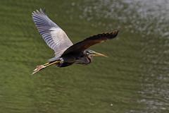 Hron pourpr - Ardea purpurea - Purple Heron (Alain-46) Tags: purpleheron ardeapurpurea coth hronpourpr ardids plcaniformes coth5 sunrays5