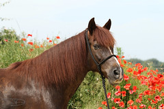 Pequi der Herzemsbrecher (D. Wolf (Expression-MyArt)) Tags: horse pferd pequeno pasoperuano