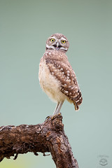 Oh...hey there! (Megan Lorenz) Tags: travel wild bird nature florida wildlife owl avian birdofprey wildanimals burrowingowl 2016 owlet mlorenz meganlorenz