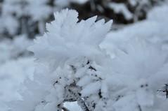 Ice flower (Lorybusin) Tags: snow ice nikon nieve neve ghiaccio