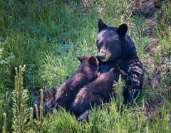 Black Bear Nursing Cubs (jorgen_hog) Tags: cubs wyoming blackbear yellowstonenp